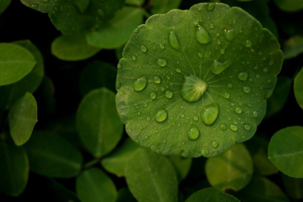 dew-centella-asiatica-after-rain-min